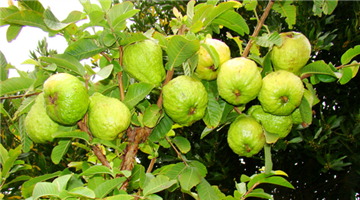 Khabar Odisha:guava-leaves-have-many-medicinal-usages