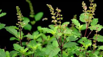 Khabar Odisha:lifestyle-Odisha-benefits-of-tulsi