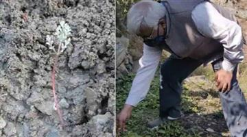 Khabar Odisha:nation-worldasafoetida-farming-begins-for-the-first-time-in-lahaul-valley-