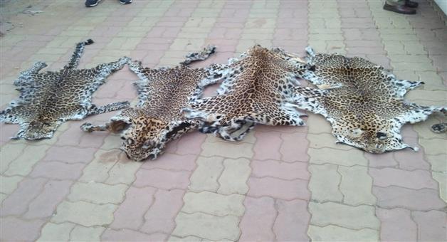 Khabar Odisha:state-odisha-3-people-arrested-in-tiger-skin-traficing