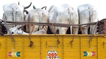 Khabar Odisha:state-odisha-cow-smuggling-racket-busted-at-jagatsinghpur-5-arrested