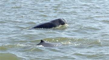 Khabar Odisha:state-odisha-dolphin-census-bhitarkanika