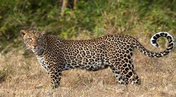 Khabar Odisha:state-odisha-tiger-again-in-bhubaneswar-rangamatia