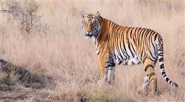 Khabar Odisha:tiger-died-in-satkosia