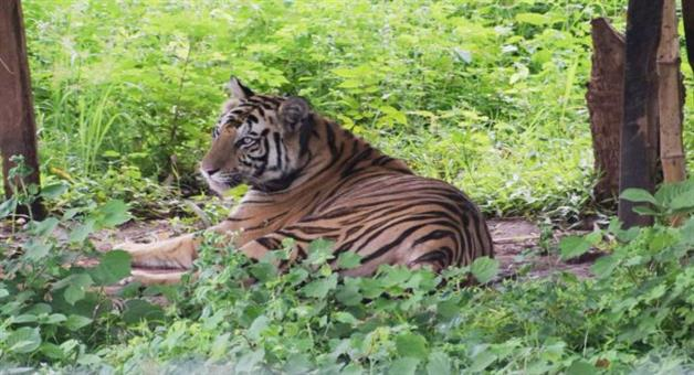 Khabar Odisha:tiger-sundari-satakosia-and-terror
