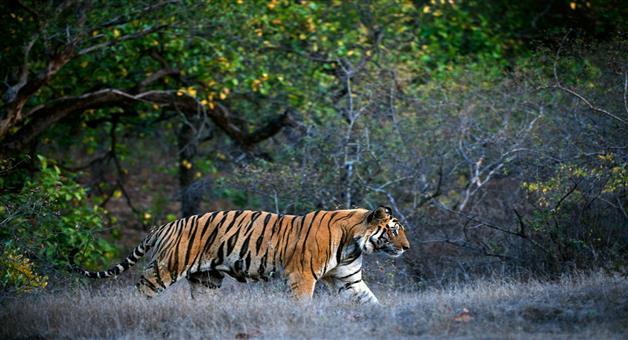 Khabar Odisha:tigress-sundari-and-tension